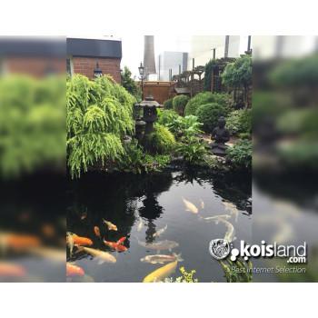 Estanque pez koi koisland