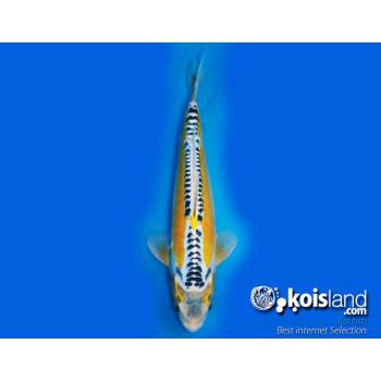 Mejores peces koi seleccionados por koisland
