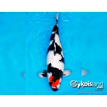 Mejores peces koi  por koisland