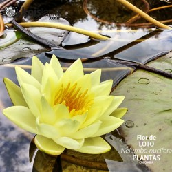 Plantas - Loto, la flor sagrada