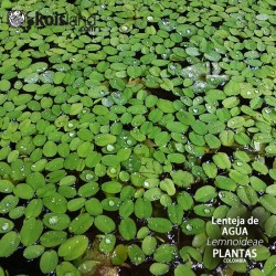 Plantas - Lenteja de Agua