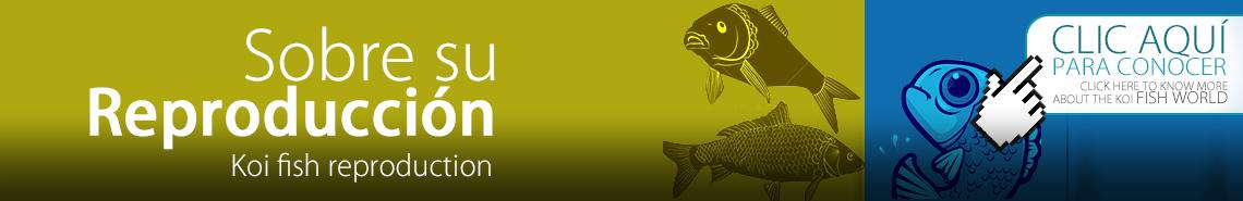Cuándo se reproducen los peces koi