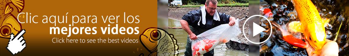 Videos peces koi