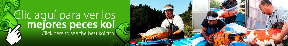 Galería peces koi