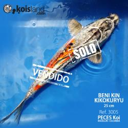 REF.3005 - Beni KIN Kikokuryu 25cm