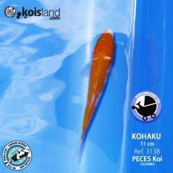 REF.3138 - Kohaku 11cm