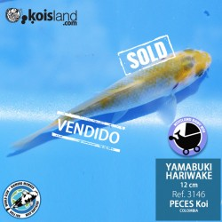 REF.3146 - Yamabuki Hariwake 12cm