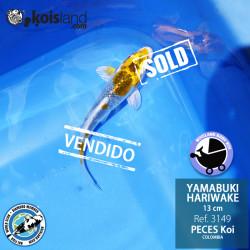 REF.3149 - Yamabuki Hariwake 13cm