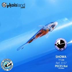 REF.3157 - Showa 11cm