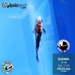 REF.3168 - Showa 12cm