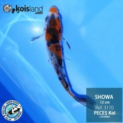 REF.3170 - Showa 12cm