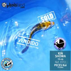 REF.3172 - Kin Showa 10cm