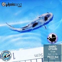 REF.3178 - Shiro Utsuri 13cm