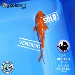 REF.3183 - Kohaku 11cm