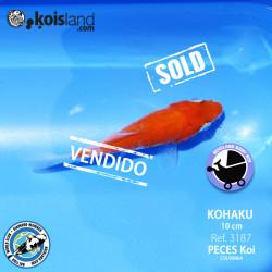 REF.3187 - Kohaku 10cm
