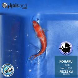 REF.3203 - Kohaku 11cm
