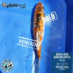 REF.3210 - Beni KIN Kikokuryu 20cm