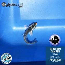 REF.3220 - Beni KIN Ginrin 10cm