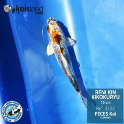 REF.3222 - Beni KIN Kikokuryu 15cm