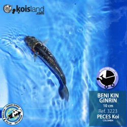 REF.3223 - Beni KIN Ginrin 10cm