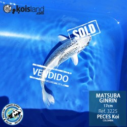 REF.3225 - Matsuba Ginrin 17cm