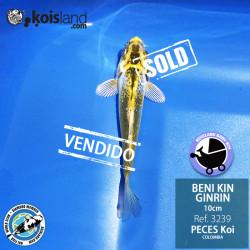 REF.3239 - Beni KIN Ginrin 10cm