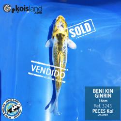 REF.3243 - Beni KIN Ginrin 16cm