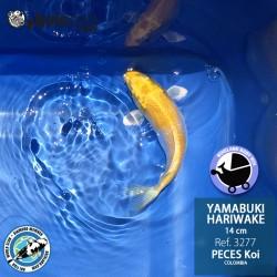 REF.3277 - Yamabuki Hariwake 14cm