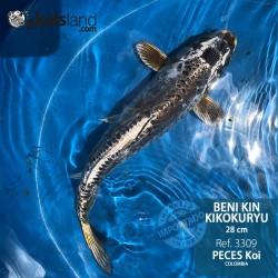 REF.3309 - Beni kin Kikokuryu 28cm