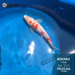 REF.3313 - Kohaku 17cm