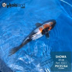 REF.3323 - Showa 22cm
