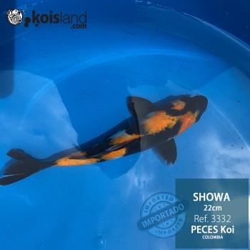 REF.3332 - Showa 22cm