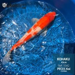 REF.3342 - Kohaku 43cm