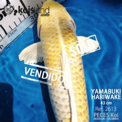 REF.2613 - Yamabuki Hariwake 43cm
