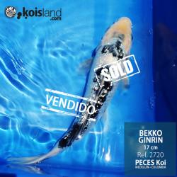 REF.2720 -Bekko Ginrin 17cm