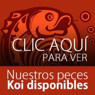 Clic aquí para comprar peces koi disponibles en Koisland