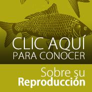 Como se reproducen los peces koi