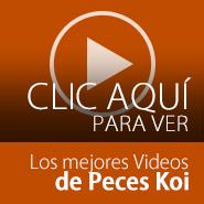 Videos de los mejores peces koi en el  mundo
